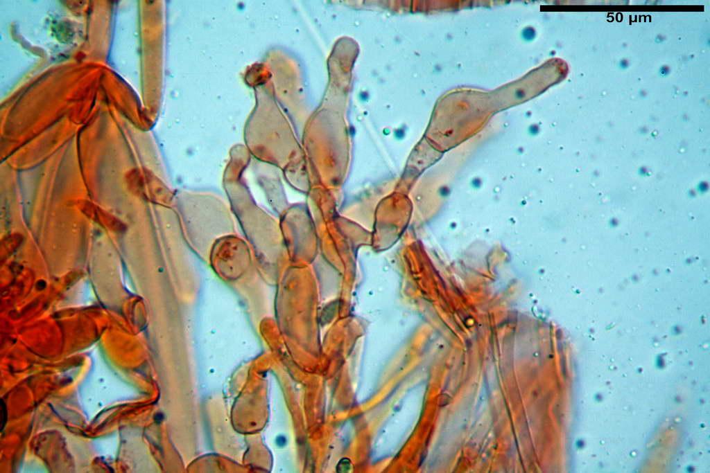 bolbitius_reticulatus_var_pluteoides_4555_60.jpg