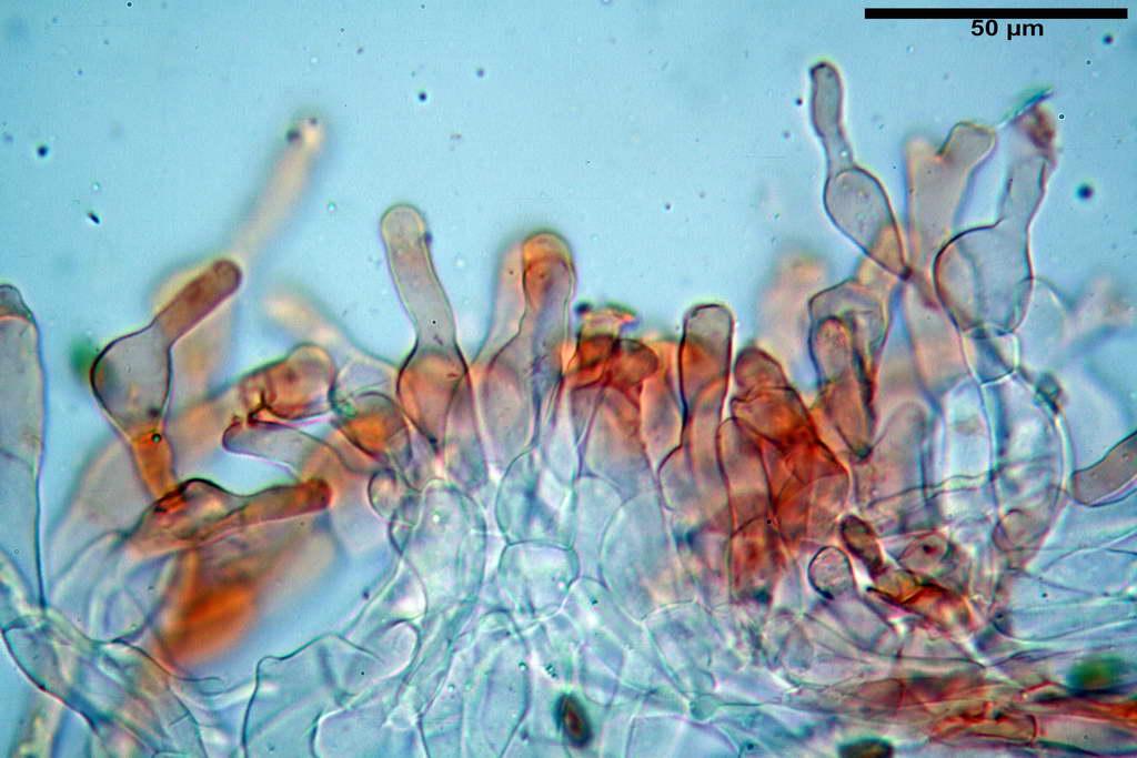 bolbitius_reticulatus_var_pluteoides_4555_62.jpg