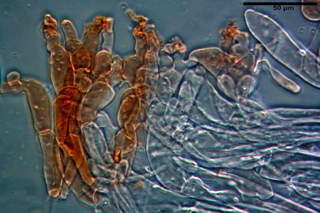 bolbitius_reticulatus_var_pluteoides_4555_66.jpg