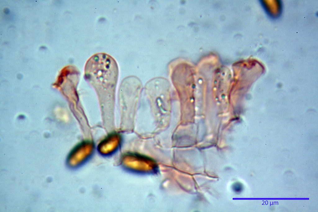 bolbitius_reticulatus_var_pluteoides_4555_37.jpg