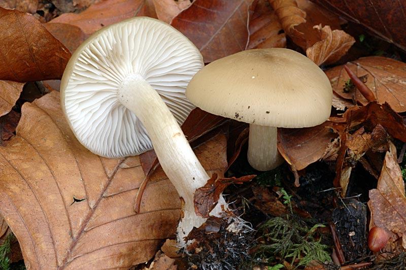 liophyllum1.jpg