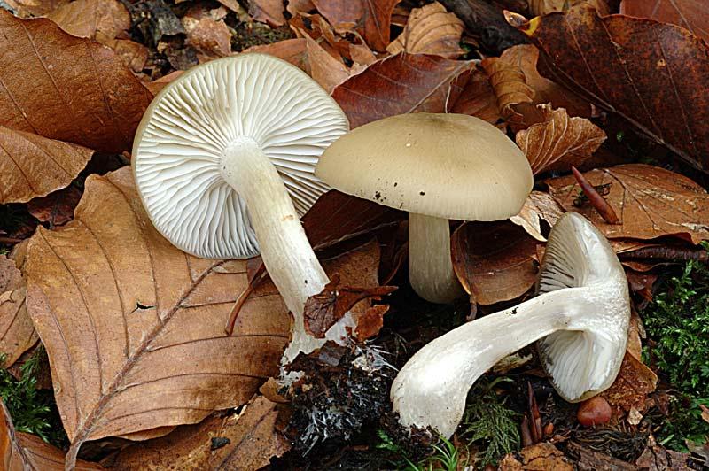 liophyllum2.jpg