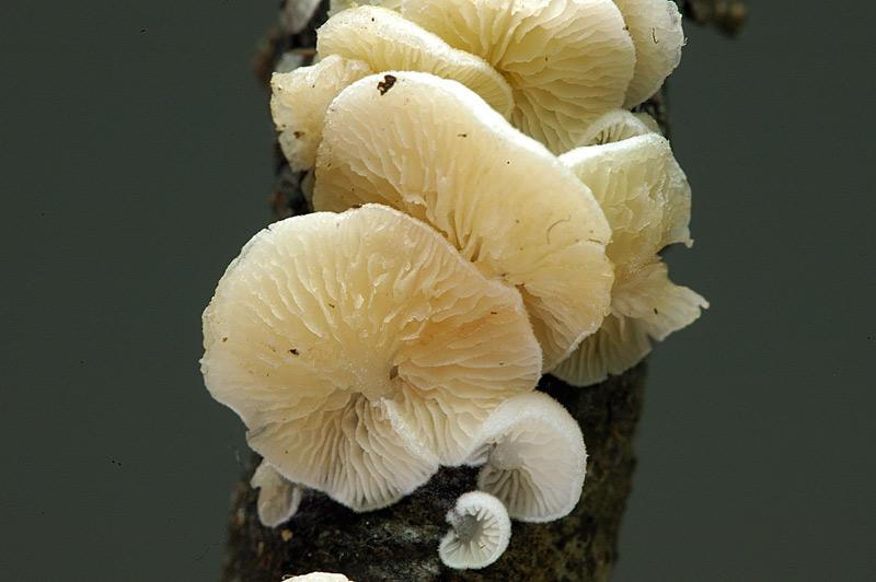 crepidotus4.jpg